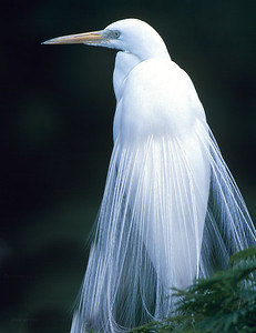 Great Egret.  Male in mating plumage.  Wild Animal Park, San Pasqual, California.