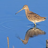 Long-billed Dowitcher.  San Elijo Lagoon, Enciinitas, California.