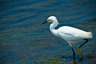 Snowy egret hunting.  Bolsa Chica, Huntington Beach, California.
