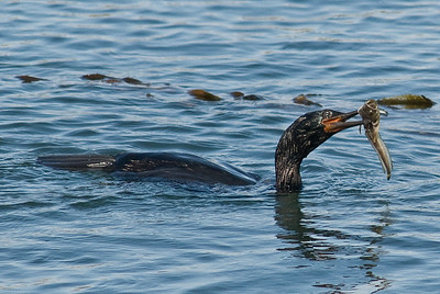 Cormorant and fish.  Morro Bay, California.