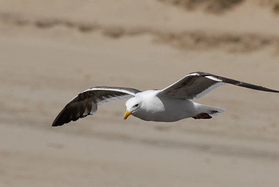 Seagull.  Morro Bay Rock, Morro Bay, California.