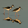 Black-necked Stilts.  Garst road, Salton Sea, California.