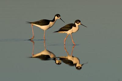 Black-necked Stilts.  Garst road, Salton Sea, California.