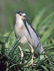 Black-crowned night heron. Wild Animal Park, San Pasqual, California.