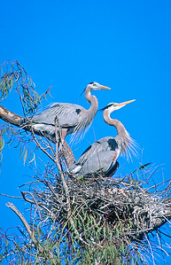 Nestng blue herons.  Escondido creek, Rancho Santa Fe, California.
