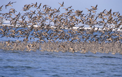 Marbled Godwits pointed to the wind.  Estero De San Jose,  Baja California, Mexico.