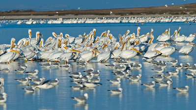 White Pelicans at sunrise.  Salton Sea, California.