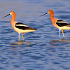 American Avocet.  San Elijo Lagoon, Encinitas, California.