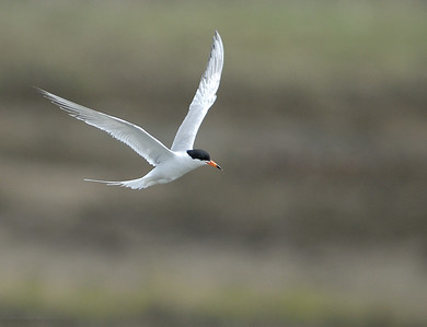 Forster's Tern.  Bolsa Chica, Huntington beach, California.
