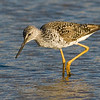 Yellow legs.  San Elijo Lagoon, Encinitas, California.