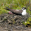 Black-necked Stilt nesting.  Bolsa Chica, Huntington Beach, California.