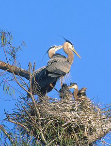 Great Blue Heron with chicks.  Escondido creek, Rancho Santa Fe, California.