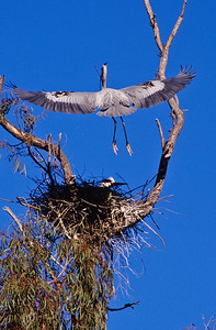 Blue heron with nesting material.  Escondido creek, Rancho Santa Fe, California.