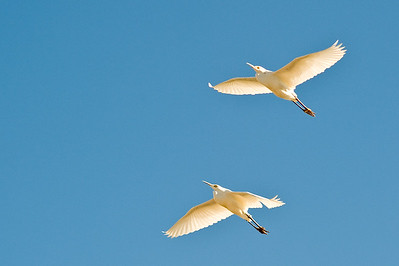 Cattle egret in flight.  Vendel road, Salton Sea, California.