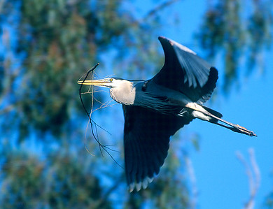 Great Blue Heron with nesting material.  Escondido creek, Rancho Santa Fe, California.