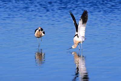 American Avocet.  Red Hill, Salton Sea, California.