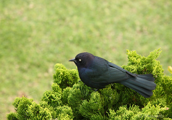 """Brewer's Blackbird"""