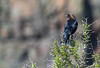 """Brown Headed Cowbird"""
