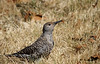 """Female Northern Flicker"""
