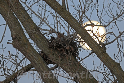 Great Horned Owl Nesting