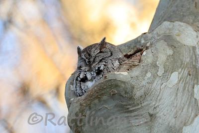 Eastern Screech-Owl Gray Morph