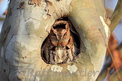 Eastern Screech-Owl Red Morph