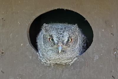Eastern Screech-Owl Owlet