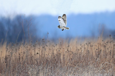 Short-Eared Owl with Vole