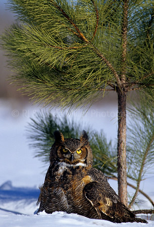 Bi000411 raptor - Great Horned Owl