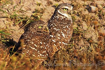 Burrowing Owl pair