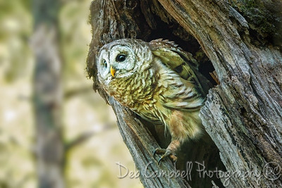 Barred Owl at Nest Cavity