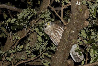 Barking owl, Ninox connivens (Strigidae). Darwin Botanic Gardens, NT, Australia. August 2008