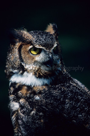 RJ016891 raptor - Great Horned Owl