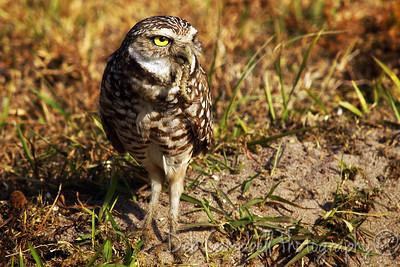 Burrowing Owl with grub worm