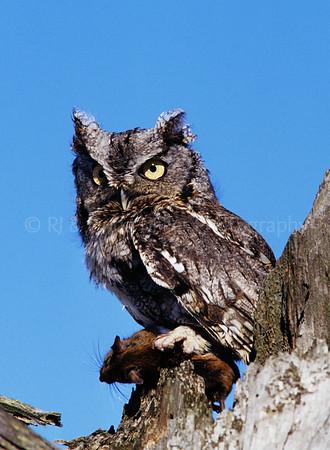 BI000261-00 Screech Owl