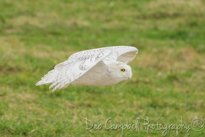 Snowy Owl (Immature Male)