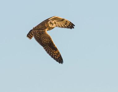 Short Eared Owl, Hackberry Flats WMA, OK