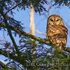 Barred Owl in the Evening Sun