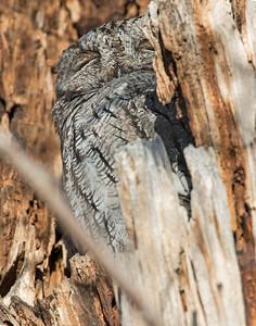 Screech Owl, Bosque Del Apache National Wildlife Refuge, NM