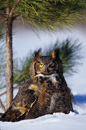 BI000309-02 - North America - Great Horn Owl