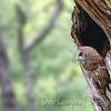 Barred Owl in Nesting Cavity