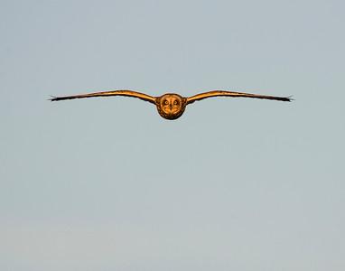 Short Eared Owl, Hackberry Flats Wildlife Management Area, OK