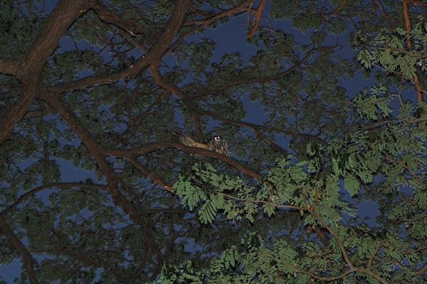Barking owl, Ninox connivens (Strigidae). Darwin Botanic Gardens, NT, Australia. July 2008