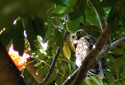 Barking owl, Ninox connivens (Strigidae). Darwin Botanic Gardens, NT, Australia. September 2008