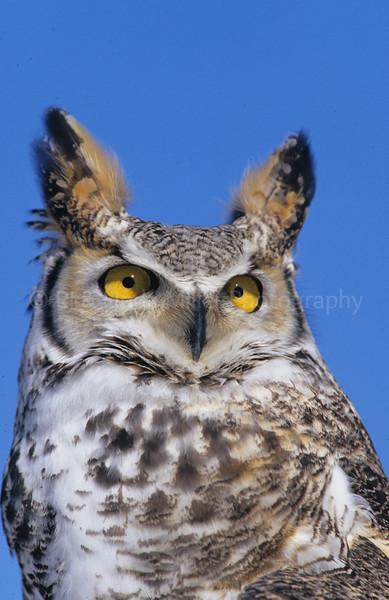 BI000324 raptor - Great Horned Owl
