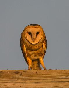 Hawk, Hackberry Flats Wildlife Management Area, OK
