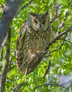 Long-eared Owl, Waurika, OK