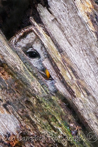Peek-a-Boo Barred Owl