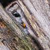 Peek-a-Boo Barred Owl