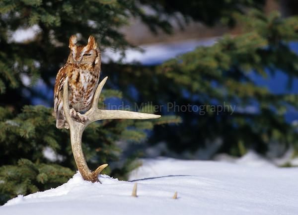 BI000298 Red Phase E  Screech Owl
